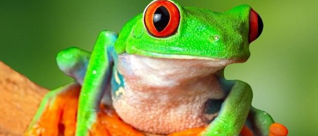 Costa-Rica-Rainforest-Red-Eye-Tree-Frog-LT-Header