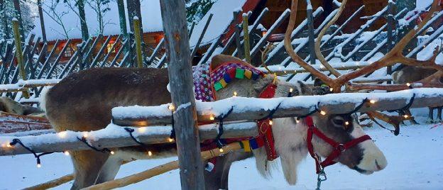 cropped reindeer 2