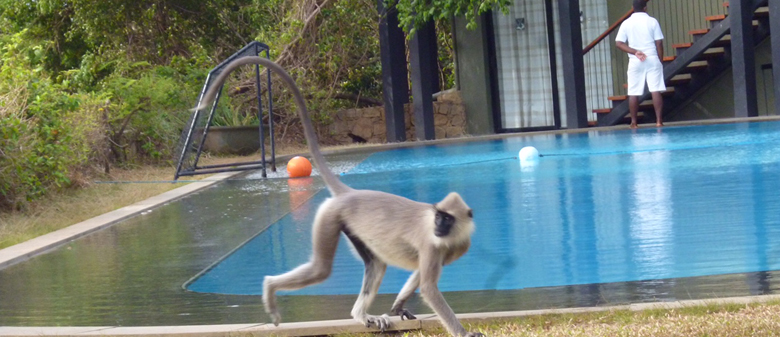 Cheeky monkey, Sri Lanka